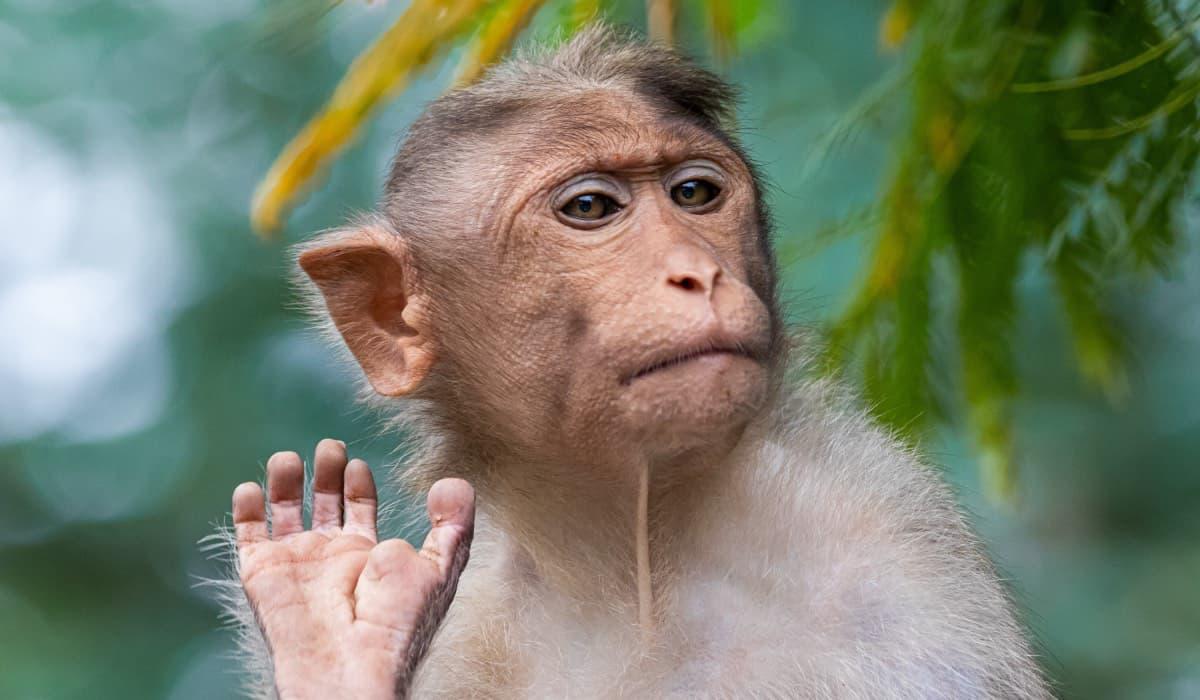 cvičená opice